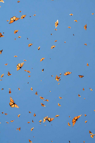 monarch migrating to mexico